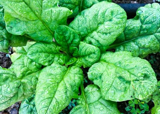 Garden 2013-Spinach